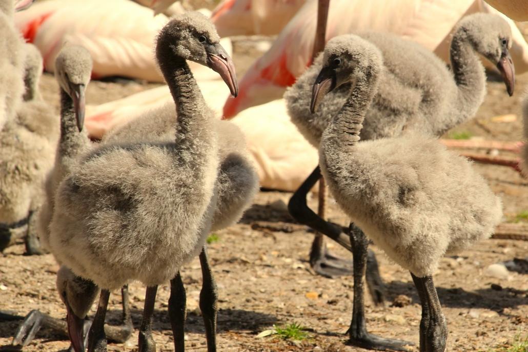 Flamingoküken