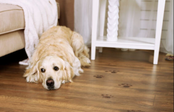 Hundepfoten-auf-hochwertigem-leicht-zu-reinigendem-Laminat